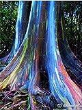 SANHOC 100 PC/Bag Regenbogen-Eukalyptus Bonsai tropischer Baum Plantas Hauptdekoration schöne Gartenpflanze Regenbogen Eukalyptusbaum: 7