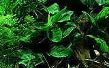Tropica Aquarium Pflanze Anubias barteri Nana Wasserpflanzen Aquarium...