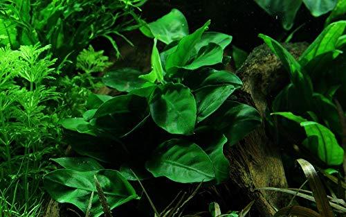 Tropica Aquarium Pflanze Anubias barteri Nana Wasserpflanzen Aquarium Aquariumpflanzen