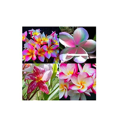 Best Summer Flower -Plumeria Frangipani