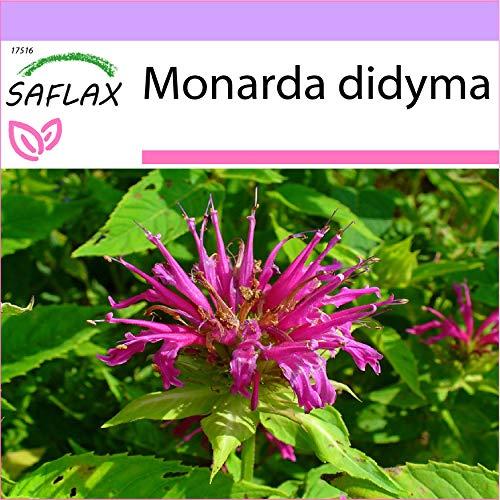 SAFLAX - Kräuter - Goldmelisse - 20 Samen - Monarda didyma