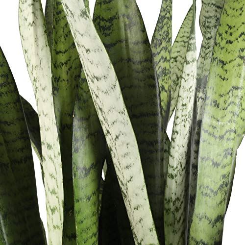 Costa Farms Snake Plant, Sansevieria zeylanica, Live Indoor Plant, 2 to 3-Feet Tall, Ships in Grow Pot, Fresh From Our Farm, Excellent Gift