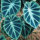 Lot de 10 graines de fleurs et de fruits Alocasia faciles à cultiver en forme d'oreilles d'éléphant rares pour la...