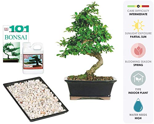 Brussel's Live Fukien Tea Indoor Bonsai Tree Complete Gift Set - 6 Years Old; 6' to 8' Tall with Decorative Container, Humidity Tray, Deco Rock, Bonsai Pro Fertilizer & Book