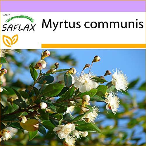SAFLAX - Echte Myrte - Brautmyrte - 30 Samen - Myrtus communis
