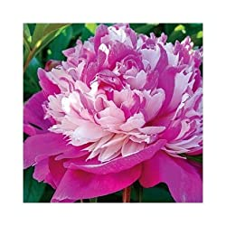 Garden Peonies on Amazon