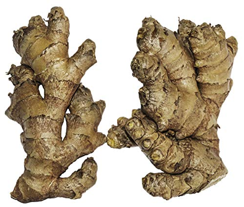 Live 10 Rhizomes of Edible Ginger Roots Zingiber Zingiber Officinale for Growing