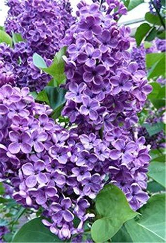 HONIC 50pcs / Bag Lila japanische Flieder Pflanze Nelke Blumenanlage für Hausgarten Perennial Hof Pflanze
