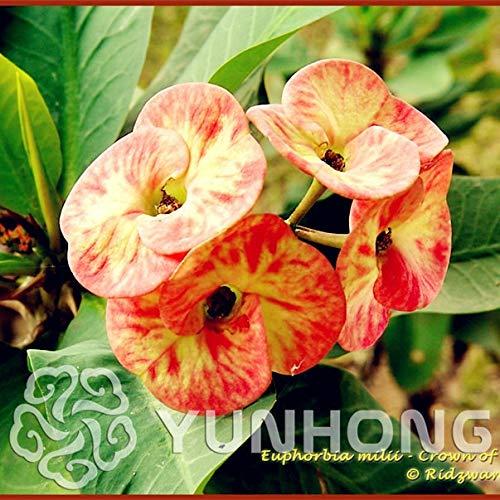 AGROBITS 100PCS Pots Euphorbia Milii Bonsai fleurs en plein air Jardin Cheap Flores Bonsai Everlasting Summer Home Bonsai: 8