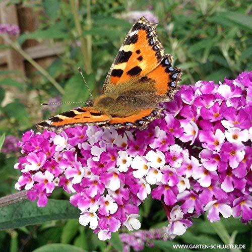 Schmetterlingsflieder Berries and Cream - Sommerflieder (Buddleja) Pflanze in weiß-lila, halbschattig und winterhart - Flieder-Strauch von Garten Schlüter
