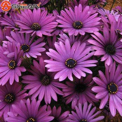 Hot Verkauf violett Kapkörbchen Samen Getopfte Blühende Pflanzen blau Gänseblümchen Samen für DIY Home & Garden–50PCS