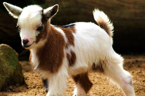 CU.RONG Cute Little Goat Art Print on Canvas,Wall Decor Poster 16x24 inches