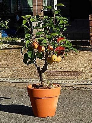 花と実が楽しめる りんご鉢植え 長寿りんご