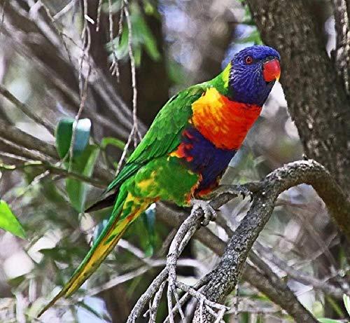 DIYAL olieverfschilderij vogel Australië Loriquet regenboog