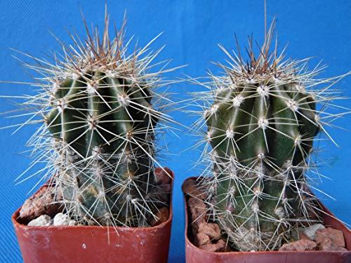 "Saguaro Cactus Two (2!) Nice Spines Carnegiea gigantea 2""-3"" Tall AZ Seed Grown"