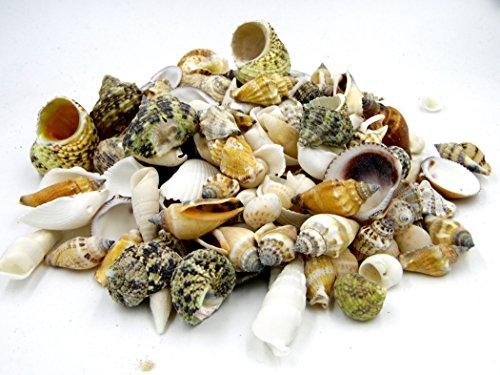 Muschelmix ca. 500g   Deko Muscheln und Schnecken   die maritime Dekoration für Vasen, Schalen oder als Streudeko   tropiesche echte Meeres-Muscheln aus der ganzen Welt   für Bad ode Heim   für alle Meeres und Insel-Fans - das Original nur von osters muschel-sammler-shop