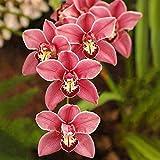 BIYI 100 Teile/paket Boot Orchideen Mini Blumensamen Pyrethroid Samen Schöne Mehrjährige Blumen Samen Blume für DIY Hausgarten (dunkelrot)