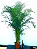 ARECA, PALMA DI ARECA XXL esemplare di altezza 220cm, pianta vera
