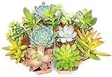 Altman Plants, Live Succulent Plants (12 Pack) Assorted Potted Succulents Plants Live House Plants in Cacti and Succulent Soil Mix, Cactus Plants Live Indoor Plants Live Houseplants in Planter Pots