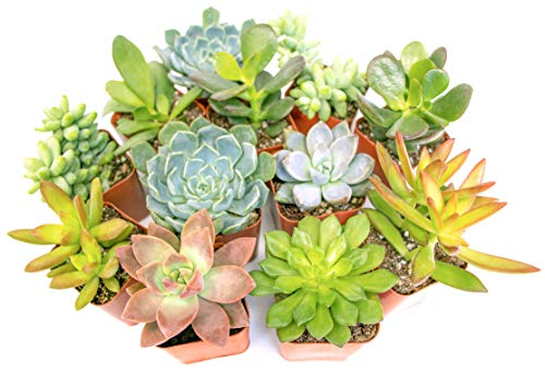Altman Plants, Live Succulent Plants (12 Pack) Assorted Potted Succulents Plants Live House Plants...