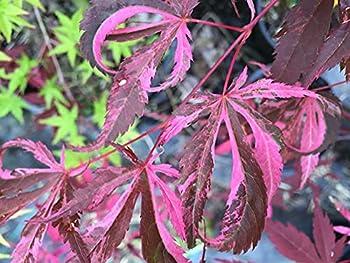 Best rainbow japanese maple Reviews