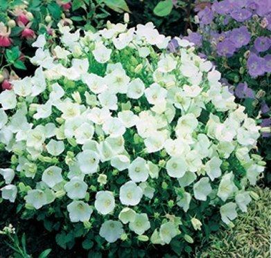 Karpaten-Glockenblume Weiße 100 Samen, Campanula Carpatica White