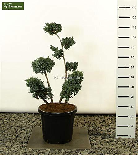 Formgehölz Bonsai - Blau-Zeder Wachholder - Juniperus squamata 'Meyeri' - Mulitplateau - Größenauswahl (80-100cm - Topf Ø 38cm - multiplateau)