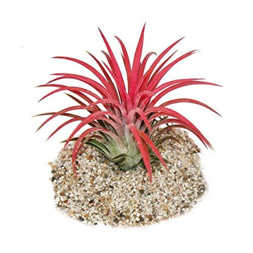 """Tillandsia ionantha""""Fire"""" - intensive rote Farbe"""