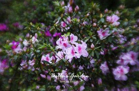 100 pcs / sac Variétés graines Azalea, belle plante de fleurs Accueil Jardin Fleurs en pot semences intérieur Graines Bonsai 9