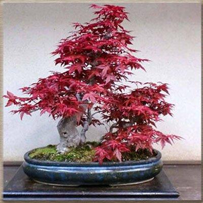 50 PCS Graines rares de l'érable vert et violet Couleur Rouge Feuillage Bonsai Jardin Plante en pot pour Flower Pot Planters 3