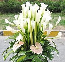 Bride Bouquet Ethiopia National Flower 2 Pcs Calla Seeds Bouquets Flower Baskets Garlands Bottles Ornamental Plants Bonsai White