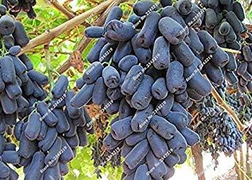 VISTARIC 4: Bonsai Finger de pépins de raisin délicieux pot organique plante pour les plantes ornementales Maison et jardin Can comestible sain Fruit semences 60 Pcs 4