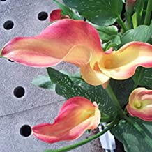 Rare Flower Seeds Seeds Plant Hot Sale Rare Unreal Color Calla Balcony Potted Patio Plant Aethiopica Calla Lily 120PCS