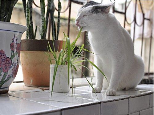 blé Semences biologiques herbe, pot graines chat herbe, comestibles naturels chat herbe semences exempt de pollution - particules 30Seed