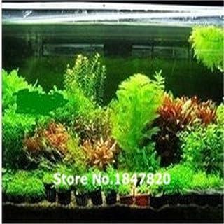 100 semillas de helecho para pecera Java de 22 tipos, planta de acuario de Moss