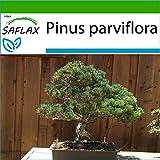 SAFLAX - Pino blanco japonés - 12 semillas - Con sustrato estéril para cultivo - Pinus parviflora