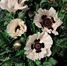 asian poppy seeds
