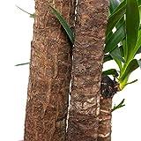 Palmlilie 3-stämmig - Yucca Elephantipes Palme 120/60/30 - Höhe ca. 155 cm, Topf-Ø 27 cm - 3