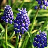 Loveablely 100 pcs Raisin Jacinthe Graines Latifolium Ampoules Deux Tons Bleu Parfumé Printemps Jardin Vivace