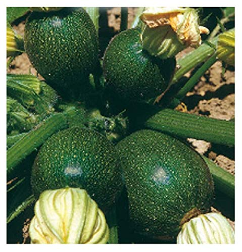 50 Aprox. - Graines de courgettes ronds Piacenza - Cucurbita Pepo en emballage d'origine Made in Italy - Courgettes ronds