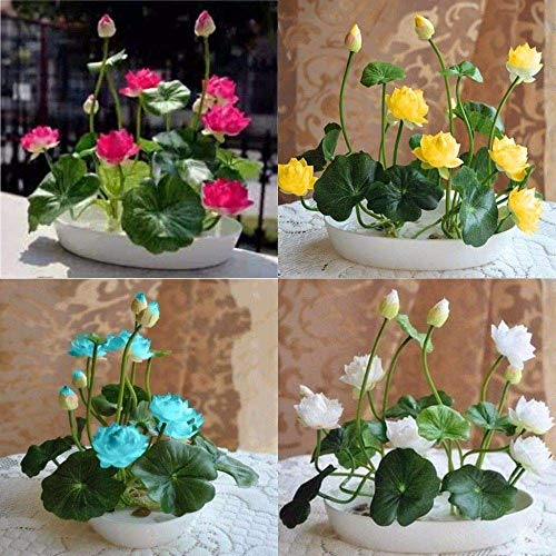 NooElec Seeds India Hybrid Bowl Lotus Mix Color 20 Seeds Pack/Organic /Special Hybrid Variety to Grow In All Seasons & Indoor or Outdoor