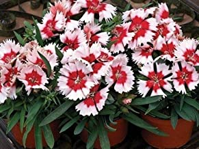 50 Seeds Red Peppermint Pelleted Dianthus Super Parfait #MRB01
