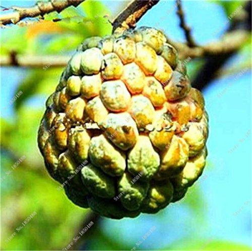 Japon Bonsai Annona Corossol Graine Heirloom Annona Graine de plantes en pot Juicy Fruit Succulent Graine Rare Outdoor vivace Arbre 5 Pc 14