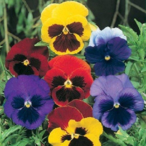 fleurs pensees lidl