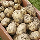 Seed Potato 'Swift' (First Early) - 2.5kg