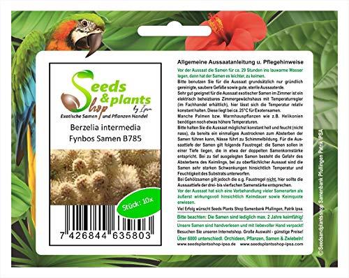 Stk - 10x Berzelia intermedia Fynbos Garten Zimmer Pflanzen - Samen B785 - Seeds Plants Shop Samenbank Pfullingen Patrik Ipsa