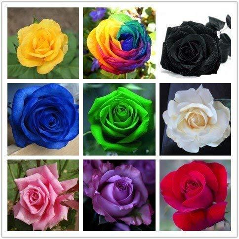 9 Mix Colors 450pcs Seeds Rainbow Rose Seeds Rare Rose Flower Seeds DIY Garden & Home Planting…