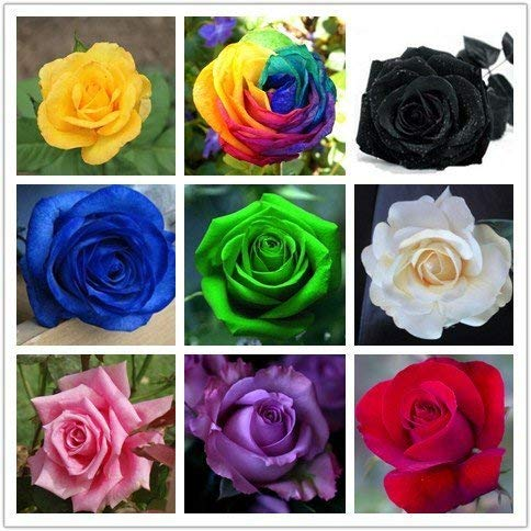 9 Mix Colors 450pcs Seeds Rainbow Rose Seeds Rare Rose Flower Seeds DIY Garden & Home Planting…