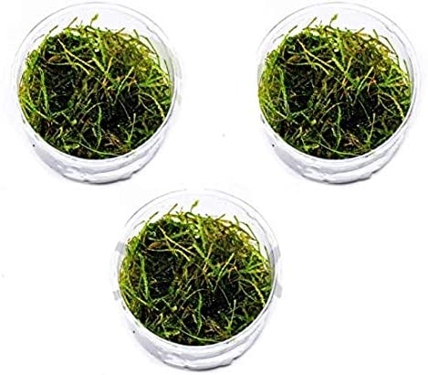 Mainam Direct stock discount Vesicularia Dubyana Java Gifts Moss Naturally Grown in Full