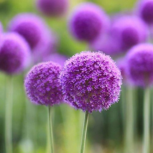 Ncient 10/20/ 50/100 pcs/Sac Graines Semences d'Allium Giganteum Graines Fleurs Graines à Planter Plante Rare de Jardin Balcon Bonsaï en Plein Air pour l'Intérieur et l'Extérieur (100 pcs)